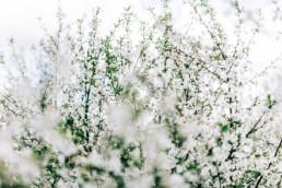 3 wiosenna sesja slubna w sadzie 11 uai