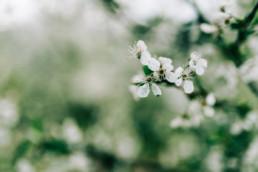 3 wiosenna sesja slubna w sadzie 2 uai